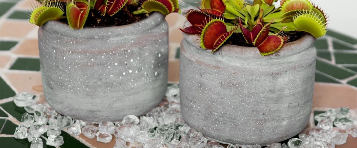 fleischfressende pflanze test vergleich 1a. Black Bedroom Furniture Sets. Home Design Ideas