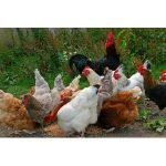 Hühnerfutter Bestseller