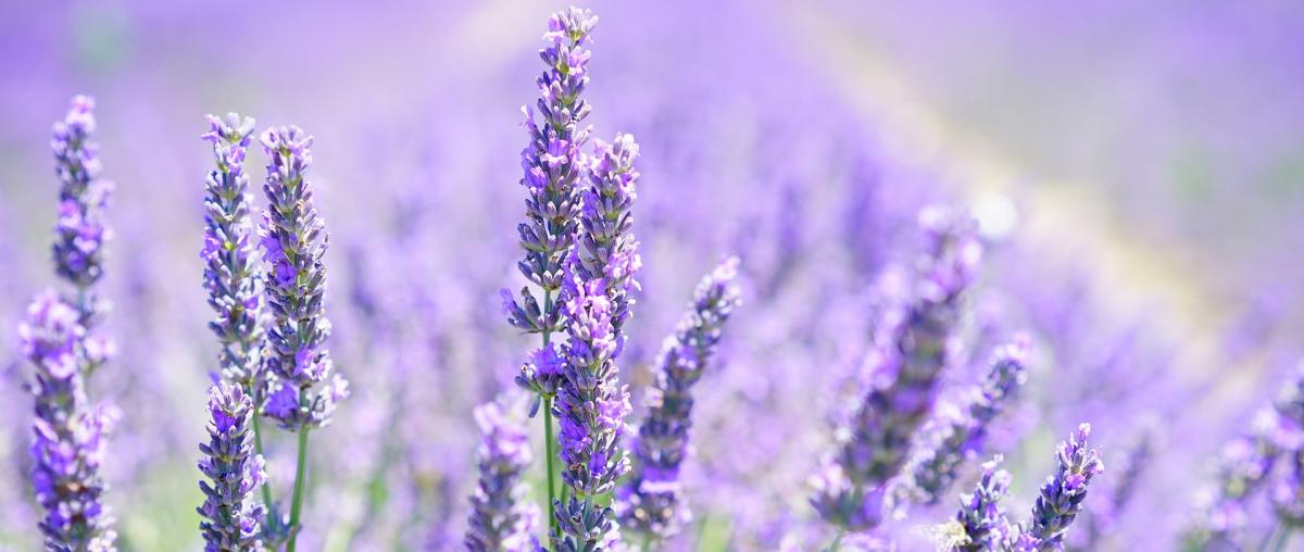 Violette Lavendelblüte in einem Lavendelfeld