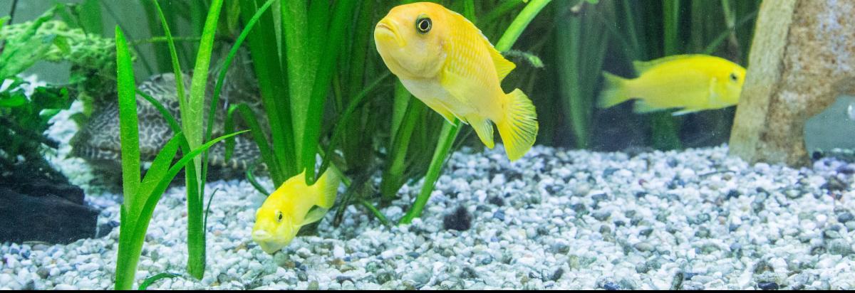 Buntbarsche in einem Aquarium