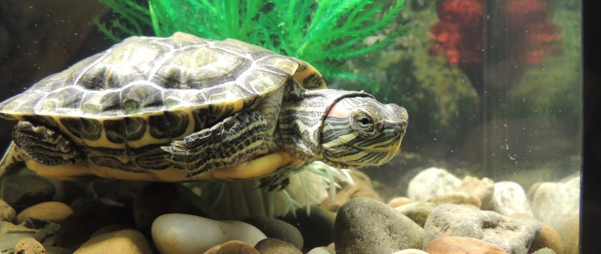 Eine Schildkröte schwimmt gemütlich im Aquarium